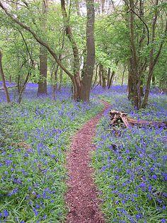 Hagbourne Copse, Blagrove, Swindon - Beautiful Bluebell Garden.