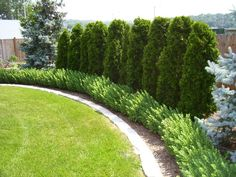 Image result for tall evergreen plants along property line