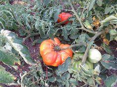 Heirloom Tomato Seeds 25 Virgina Sweet Tomato Seeds Heirloom Tomato Seeds, Heirloom Tomatoes, Seeds For Sale, Red Tomato, Beef Steak, Garden Seeds, Flower Seeds, Harvest, Golden Yellow