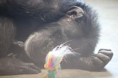 Chimp With Darkest Past Takes Comfort In Tiny Troll Doll (STOP ANIMAL TESTING!!!!)