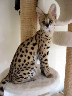 Serval Kitten - Click image to find more Animals Pinterest pins