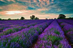 Flowers Field Fields Grass Sunlight Peaceful Tree Amazing Landscape Sunrise Sunset Purple Sky Colors Splendor Lavender Nature Trees Beauty Beautiful Lovely Clouds Pretty Green View Free Download Wallpaper