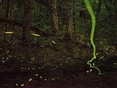Flashes of Summer. Photograph by David Liittschwager. Fireflies flash and streak through a Tennessee summer night, putting on a spectacular light show to seduce prospective mates. The summertime ritual is one of the most familiar examples of bioluminescence on land.