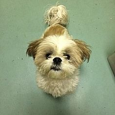 Pictures of Teuscher a Shih Tzu for adoption in New York, NY who needs a loving home.