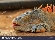 Download this stock image: Iguana Verde lie on the sand under the sun - GD5GGF from Alamy's library of millions of high resolution stock photos, illustrations and vectors.