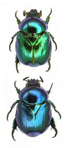 Shiny metallic green and blue beetles Beetle Insect, Insect Art, Cool Insects, Bugs And Insects, Beetle Tattoo, Mantis Religiosa, Green Beetle, Bug Art, Beautiful Bugs