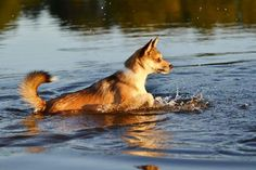 Noomi the Norsk Lundehund loves to swim