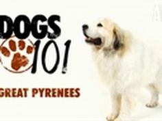 Dogs 101 - Great Pyrenees - http://www.doggietalent.com/posts/dogs-101-great-pyrenees/