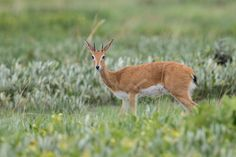 Oribi (Ourebia ourebi), Liuwa Plain National Park, Western Province, Zambia… Mammals, Kangaroo, Westerns, National Parks, Stock Photos, Pictures, Image, Photos
