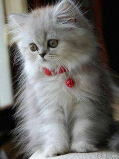 Persian kitten.. dreammm kittttyyyy!!!! ;)))