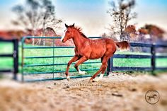 """One of the many basic keys to training is """"Forward Motion"""" ... When your horse freezes up and comes to a stop on their own means they are no longer listening to you or minding you. Their instinct kicks in and that means you'll be possibly kicked off. So keep in mind just as a toddler is always thinking and looking for a way out of listening to an adult ,so too does a horse do the same"""
