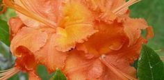 Rhododendron calendulaceum by irmaly