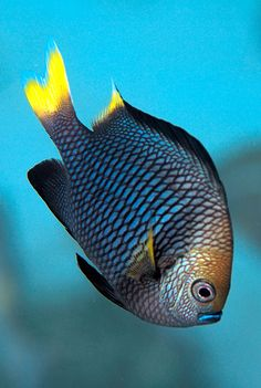 Dascyllus flavicaudus is a Damselfish from the Eastern Central Pacific. It occasionally makes its way into the aquarium trade. It grows to a size of in length. Underwater Creatures, Underwater Life, Ocean Creatures, Volvo Ocean Race, Under The Water, Aquariums, Beautiful Sea Creatures, Salt Water Fish, Water Animals