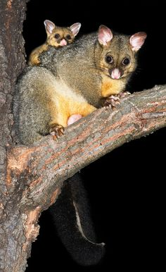 A bright-eyed baby Common Brushtail Possum in Australia gets a ride on its mother on a tree branch, clinging tightly.