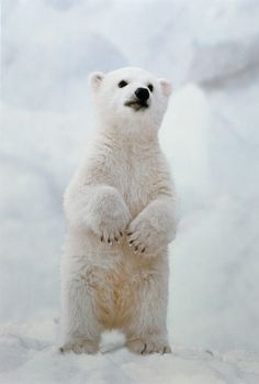 'Polar Bear Cub Standing On Hind Legs' - photo by Ken Graham / Getty Images