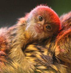 Marmoset | Baby Animal Zoo