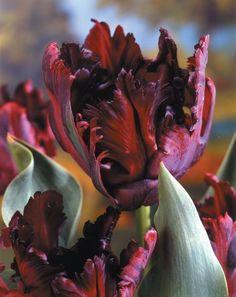 Black Parrot Tulip Bulbs (Pack of Parrot Tulips, Purple Tulips, Tulips Flowers, Flowers Nature, Large Flowers, Spring Flowers, Unusual Flowers, Amazing Flowers, Beautiful Flowers