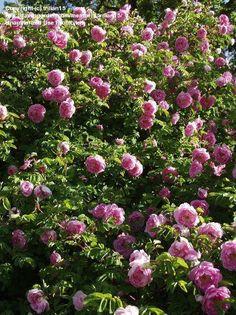 Tutto Foto di Hybrid Spinosissima Rose 'Poppius' ( Rosa spinosissima )