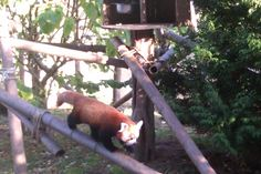 i went back to the red panda but he was so hyper active. the other was still lazy lying down ontop of a tree couldn't get an image of it.(blackpool zoo, 2014)