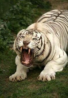 Devilish white tiger - My Cats - Happy cats Big Cats, Cool Cats, Cats And Kittens, Nature Animals, Animals And Pets, Cute Animals, Wild Animals, Angry Animals, Fierce Animals