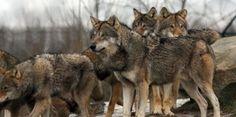 Branco di lupi attacca i greggi. Uno trovato morto. Nota della Coldiretti