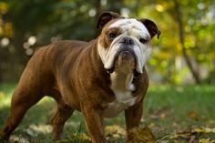 The major breeds of bulldogs are English bulldog, American bulldog, and French bulldog. The bulldog has a broad shoulder which matches with the head. English Bulldog Full Grown, Miniature English Bulldog, English Bulldog Pictures, Bulldog Breeds, Puppy Breeds, Toy Bulldog, Dog Breeders, Baby Bulldogs, Bulldog Puppies For Sale