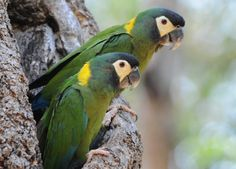 Yellow-collared Macaw (Propyrrhura auricollis)