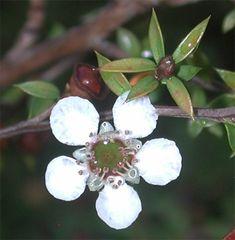 Manuka oil is one of the key ingredients in Fungavir solution, yet you wont find. Manuka Tree, Manuka Oil, Toenail Fungus Remedies, Toenail Fungus Treatment, Fungal Rash, Laser Eye Surgery Cost, Toe Fungus, Medicinal Plants, Maori