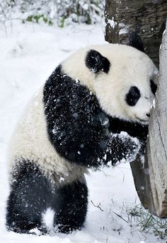Magical Nature Tour :) - UPDATE! First Snow for Baby Panda via Zooborns... S)