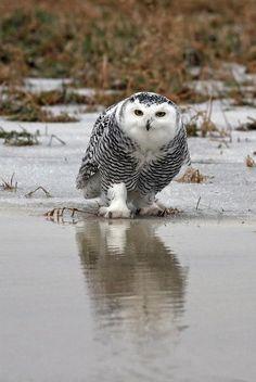 Jim Nelson  Snowy Owl