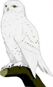 snow owl tattos   snowy_owl