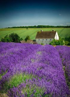 Lavender field…