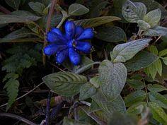 Cauabori (Coccocypselum lanceolatum, Rubiaceae)