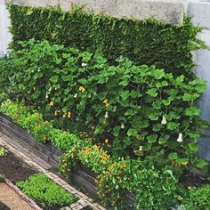Vertical butternut squash plantings and cascading nasturtiums in my garden provide hundreds of blossoms daily for the Frontera/Topolo menus Balcony Garden, Lawn And Garden, Homestead Survival, Survival Skills, City Farm, Vertical Farming, Gardening Tips, Vegetable Gardening, Urban Farming