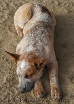 Red Heeler | Flickr - Photo Sharing!