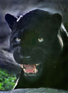 Black day ~ Orson, a black jaguar, passed away at the San Diego Zoo. The almost 22 year old cat served as the zoo's elder ambassador. This photo was taken a week before he died. What a beautiful jaguar Panther Leopard, Panther Cat, Beautiful Cats, Animals Beautiful, Funny Animals, Cute Animals, Wild Animals, Baby Animals, Black Panthers