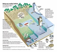 26 best salt marsh diagrams images salt marsh, wish, beach Salt Marsh Mammals image result for salt marsh diagram