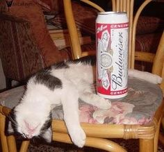 Flopped Cats cant hold their drinks at all