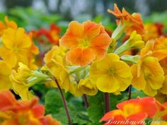 Refreshing tones of orange and gold, very striking in the garden. A recent addition - large flowered, strong plants.