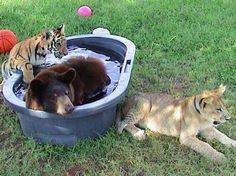 BLT: Unusual BFFs: A lion and tiger and bear, oh my! This bear, lion and tiger trio is lovingly called BLT by their caretakers -- and they're the best of friends! They were rescued together as cubs almost 13 years ago and are still inseparable.