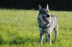 Ceskoslovensky Vlcak (Czechoslovakian Wolfdog) by Wazniaki.deviantart.com on @deviantART
