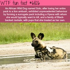 Solo, The African Wild Dog - WTF fun fact