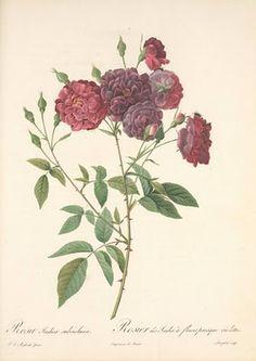 Rosa Indica subviolacea, Pierre-Joseph Redouté (1759-1840)