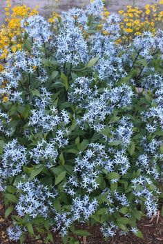 Amsonia tabernaemontana 'Storm Cloud'  - black stems, 3ft, strong-blooming