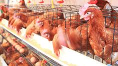#Gallinas libres de jaula: el debate por huevos más saludables o más baratos - Infobae.com: Infobae.com Gallinas libres de jaula: el debate…