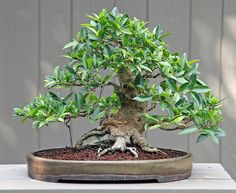 hair styles for oval shape bonsai jaboticaba buscar con bonsai 8185