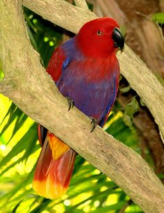 Female Eclectus Parrot (Eclectus roratus) Solomon Islands, Sumba, New Guinea and N.E.Australia