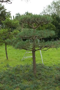 Cloud 2 Niwaki cloud pine, specialist pruning over 15 years at there Nursery ( i think you would need to be sitting down before a gave you a price ).