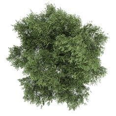 silver birch 4 betula pendula 3d model max obj fbx c4d mtl 2