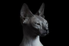 #cat #sphinx